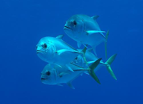 Horse eye jack fishmount for Global fish mounts